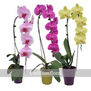 Orchid-waterfall
