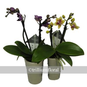 Orchids-Mini