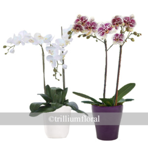 OrchidsDoubleStem