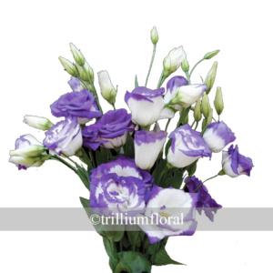 PurpleRim