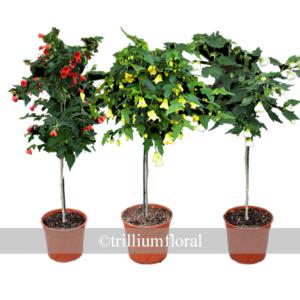 Topiary-Abutilon