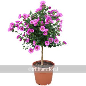 Topiary-Anisodontea