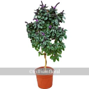 Topiary-Basil