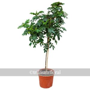 Topiary-CassiaCorymbosa