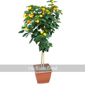 Topiary-Lantana