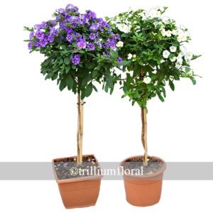 Topiary-Solanum