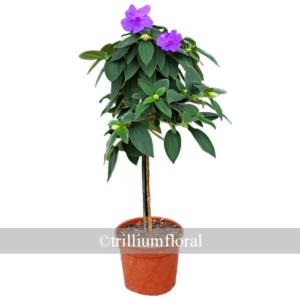 Topiary-Tibouchina