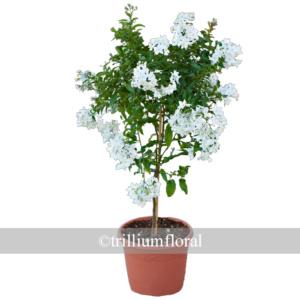 Topiary-potatoevine