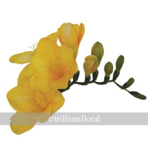 YellowFressia