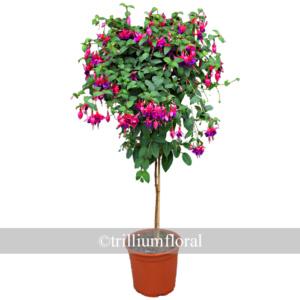 topiary-fuscia
