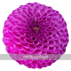 Purple - Ball
