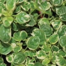 Marjoram Veriegated