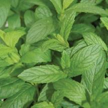 Mint Spearmint (2)