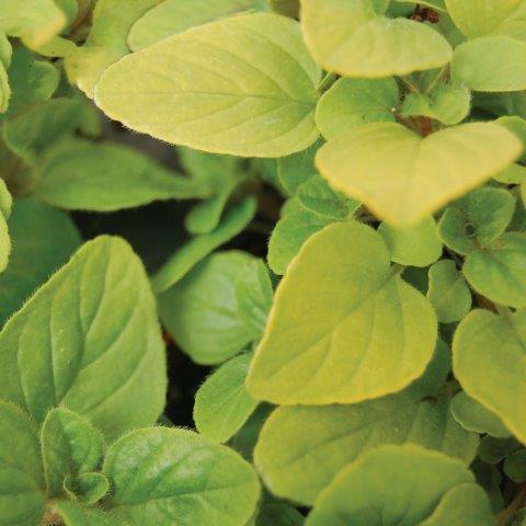Oregano Golden Trillium Floral