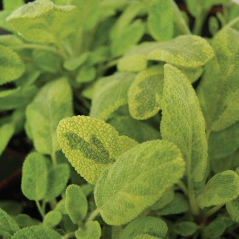 Sage Golden Trillium Floral