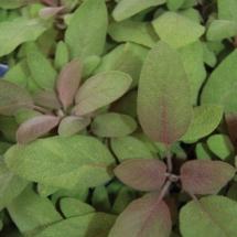 Sage Purple