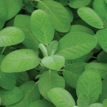Sage Salvia